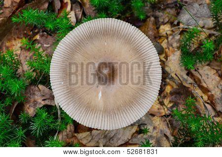 Silver Distaff Mushroom