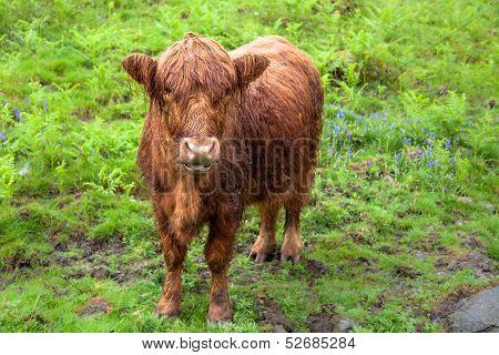 Scottish Highland Red Calf