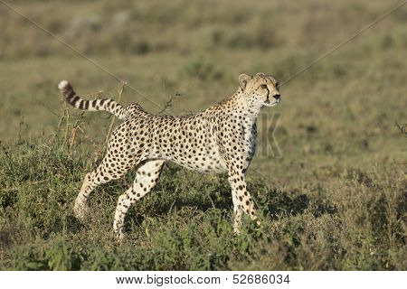 Adult Female Cheetah (acinonyx Jubatus) Tanzania