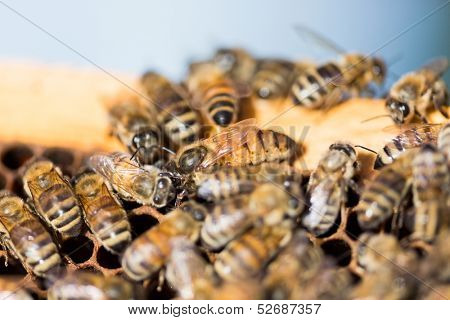 Detail of bees swarming on honeycomb frame with queen bee in center