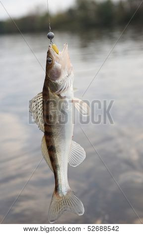 Walleye against river landscape hanging on hook