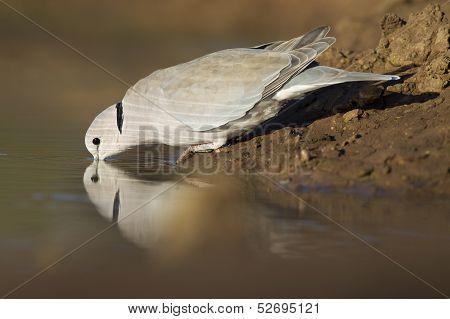 Cape Turtle Dove (streptopelia Capicola), Botswana