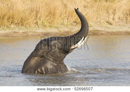 Male African Elephant (loxodonta Africana) Swimming, South Africa