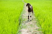 pic of tamil  - Farm animal - JPG
