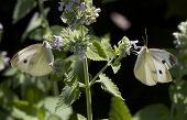 image of catnip  - Two small white butterflies drinking from either side of a flower - JPG