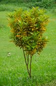 image of crotons  - Croton tree on green grass in garden - JPG