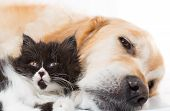 stock photo of golden retriever puppy  - Golden Retriever with a Persian cat sleeping together - JPG