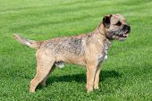 stock photo of border terrier  - The typical Border Terrier in a garden - JPG