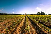 stock photo of farm land  - Field crops leading to a farm house - JPG