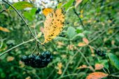 pic of aronia  - Aronia Melanocarpa hanging on a branch in nature - JPG