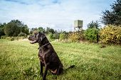 stock photo of foxhound  - Hunting dog on a green field with a lookout - JPG