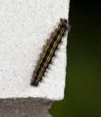 The Fluffy Caterpillar Creeps On A White Brick Wall poster