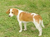 picture of scenthound  - A young beautiful white and orange Istrian Shorthaired Hound puppy dog standing on the lawn - JPG