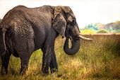 stock photo of elephant ear  - African Elephant in Savanna of Botswana - JPG
