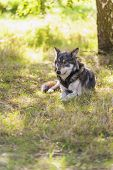 picture of north american gray wolf  - North American Gray Wolf - JPG