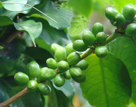 picture of coffee coffee plant  - green - JPG