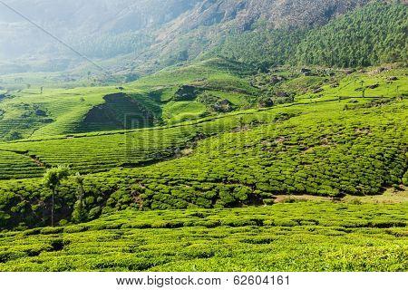 Kerala India travel background - green tea plantations in Munnar, Kerala, India close up