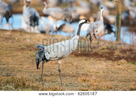 Crane Bird Walking In Grassfield Closeup