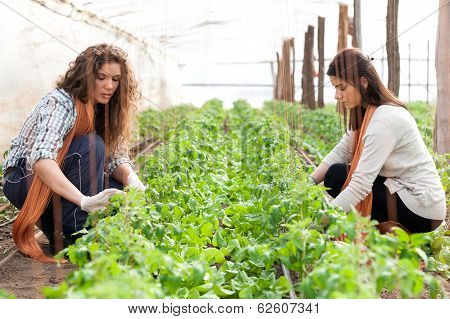 Two women workers planting on green crop