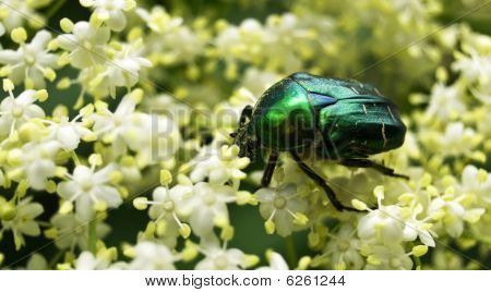 May-bug on a white flower