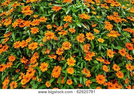 Zinnia , orange flowers