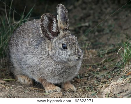 Columbia Basin Pygmy Rabbit