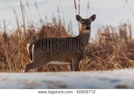 Whitetail Deer Along A Swamp