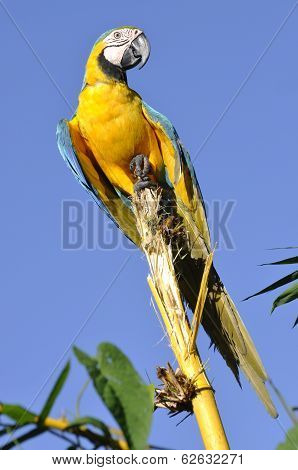 Amazonian Blue-and-yellow Macaw - Ara Ararauna