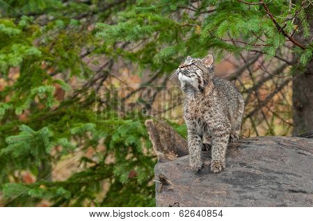 Bobcat Kitten (Lynx rufus) Looks Up While Preparing To Leap