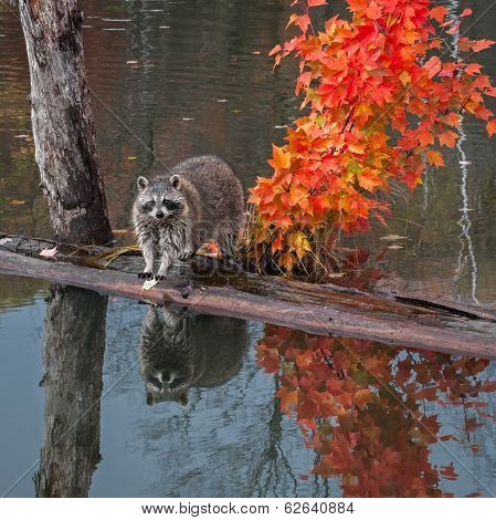 Raccoon (Procyon lotor) Stands On Logs In Pond