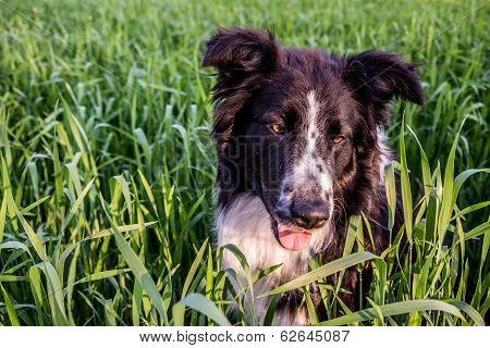 Cute Border Collie Having Fun In The Green Weeds.