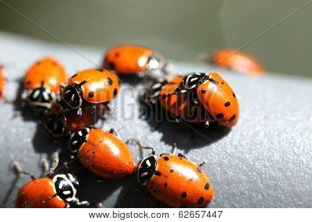 Beautiful Lady Bugs