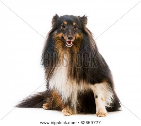 Sheltie dog breed on a white background lookinf into the camera