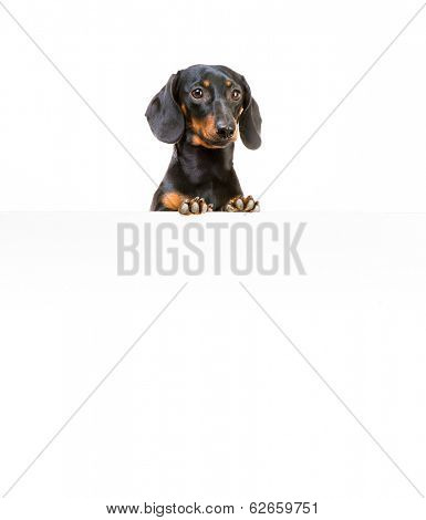 red dog breed dachshund with a whiteboard for your text and logo