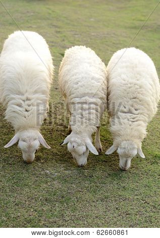 Sheep In Row