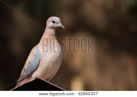 Laughing Dove (stretopelia Senegalensis) On An Apex