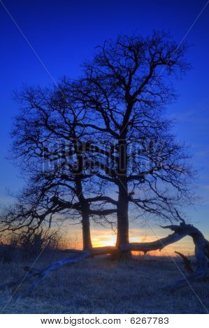 Silhouettes of oaks at night