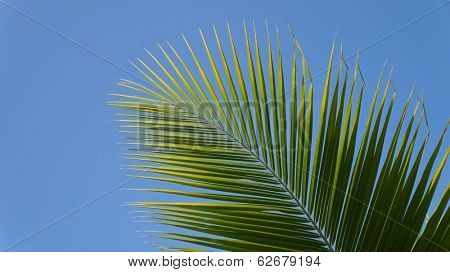Coconut frond against blue sky