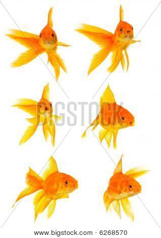 Three Goldfishes