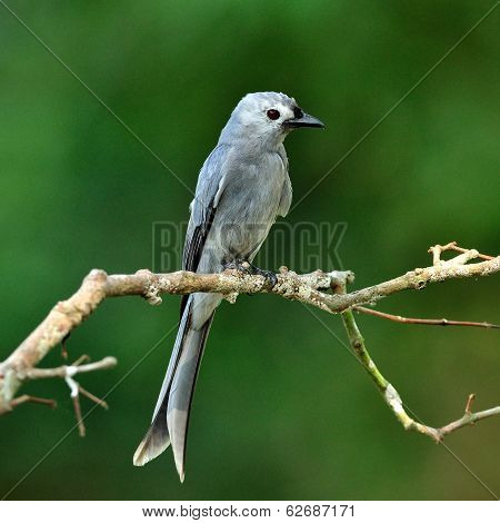 Ashy Drongo (dicrurus Leucphaeus) Fine Grey Color Bird Perching On Nice Branch