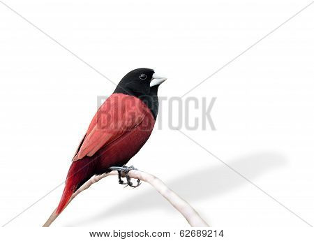 Black And Red Bird In Fancy Color (black-headed Munia)
