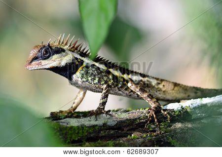 Black Faced Lizard, Masked Spiny Lizard, Tree Lizard, Acanthosaura Crucigera Boulenger