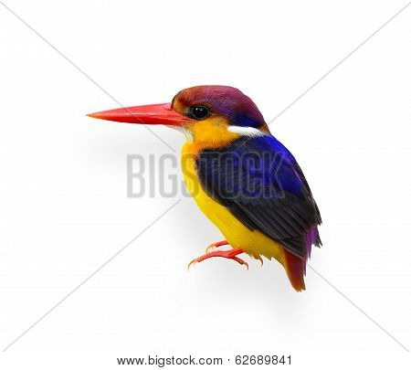 Black-backed Kingfisher, Ceyx Erithacus, A Little Cute Colorful Kingfisher Isolated On White Bakcgro