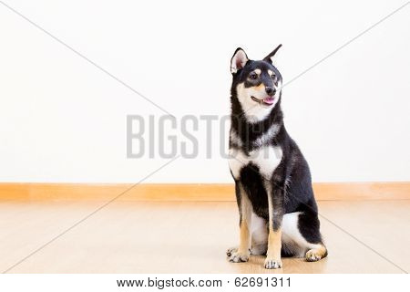 Black shiba siting on the floor
