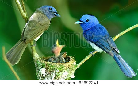 Black-naped Monarch Or Black-naped Blue Flycatcher, Hypothymis Azurea, Asian Paradise Flycatcher, Gu