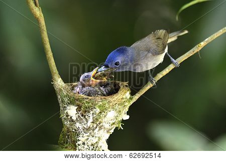 Black-naped Monarch Or Socalled Black-naped Blue Flycatcher, Hypothymis Azurea, Asian Paradise Flyca