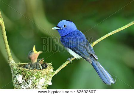 Black-naped Monarch, Black-naped Blue Flycatcher, Hypothymis Azurea, Asian Paradise Flycatcher, Feed