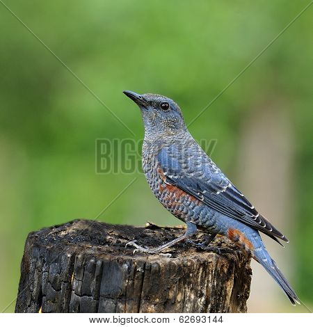 Blue Bird, Blue Rock Thrush (monticola Solitarius) Standing On The Log With Funny Actions