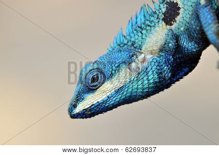 Blue Lizard With Big Eyes In Closed Up Details, Like Small Reptile With Nice Details On Its Painted