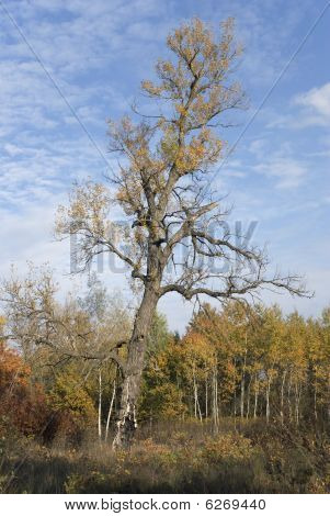 Old Poplar In Autumn